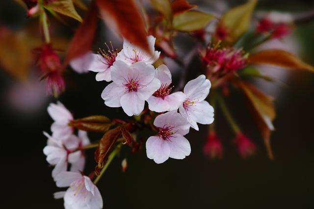 FE 100mm F2.8 STF GM OSS(SEL100F28GM)で写した桜